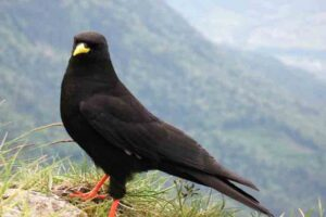 Alpine chough (26500 Feet)