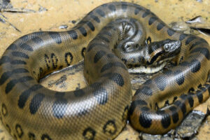 Dark-spotted anaconda
