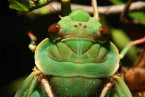 Greengrocer cicada