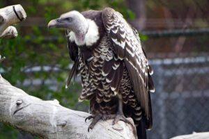 Ruppell's griffon vulture (37000 Feet)