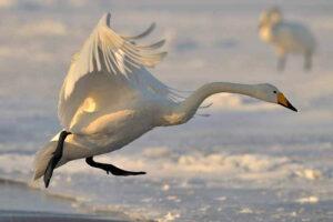 Whooper swan (27000 Feet)