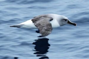 grey-headed-albatross