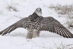 gyrfalcon-bird
