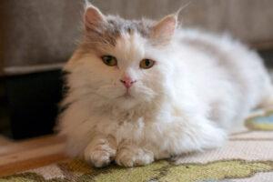 lambkin-cat