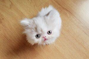 napoleon-cat