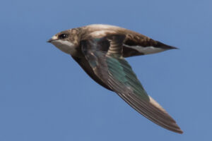 white-throated-needletail