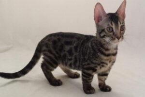 genetta-cat