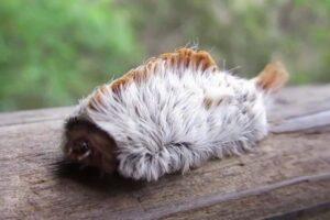 puss-caterpillar