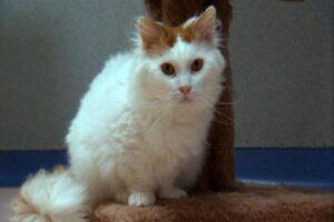 skookum-cat