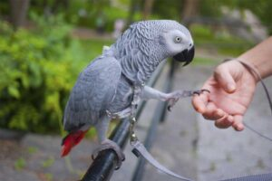african-grey-parrot