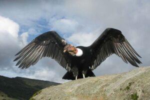 andean-condor-largest-birds