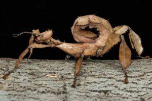 australian-walking-stick-weirdest-insects