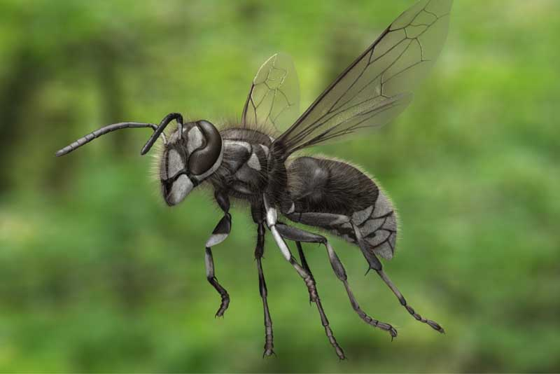 bald-faced-hornet
