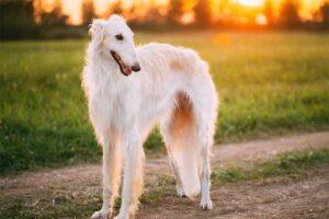 borzoi-shortest-living-dog