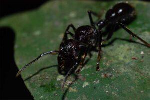 bullet-ant