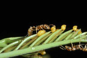 bullhorn-acacia-ant