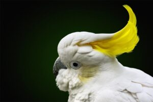 cockatoo-crested-birds
