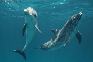 dolphins-longest-gestation-period