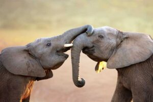 elephants-longest-gestation-period