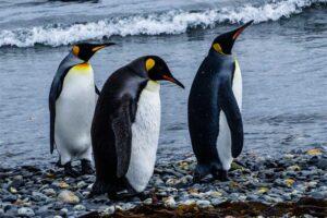 emperor-penguin-largest-birds