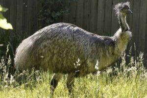 emu-largest-birds