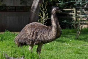 emu-flightless-bird