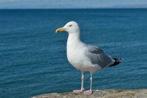 european-herring-gull-dangerous-birds