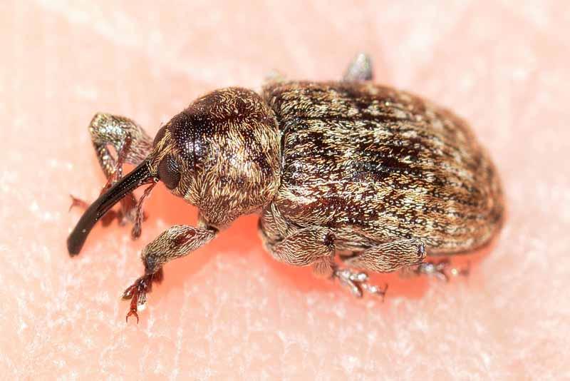 filbert-weevil-weirdest-insects