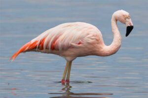 flamingo-bird