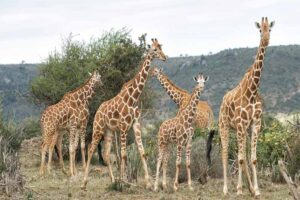 giraffe-longest-gestation-period
