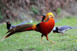golden-pheasant-long-tail-birds