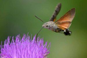 hummingbird-moth-weirdest-insects