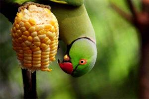 indian-ring-parakeet