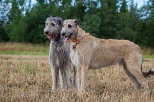irish-wolfhound-shortest-living-dog
