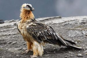 lammergeier-dangerous-birds