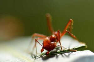 leafcutter-ant