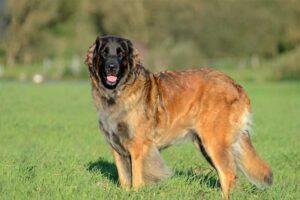 leonberger-shortest-living-dog