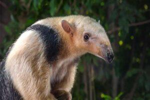 lesser-anteater