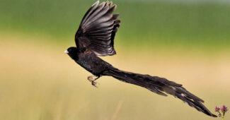 long-tailed-widowbird
