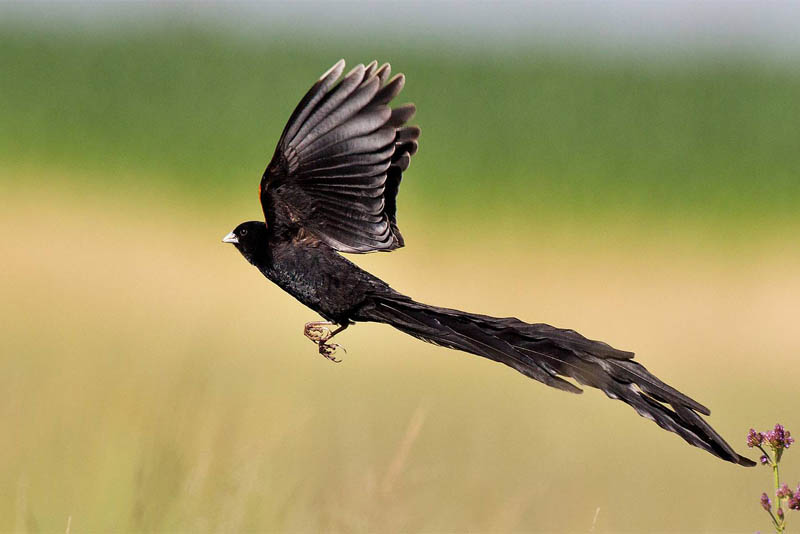 long-tailed-widowbird
