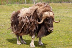 musk-ox