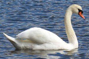 mute-swan-largest-birds