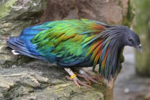 nicobar-pigeon