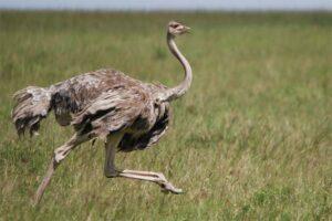 ostrich-largest-birds