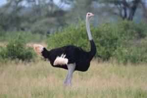 ostrich-dangerous-birds