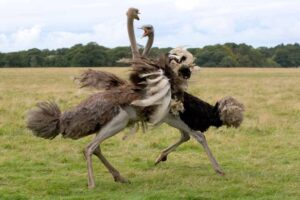 ostrich-flightless-bird