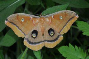 polyphemus-moth