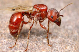 red-harvester-ant
