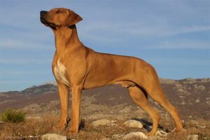 rhodesian-ridgeback-dog