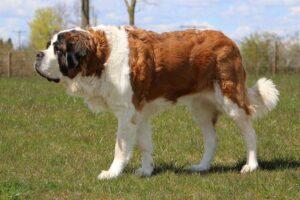saint-bernard-shortest-living-dog